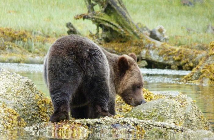 Bären beobachten in Kanada