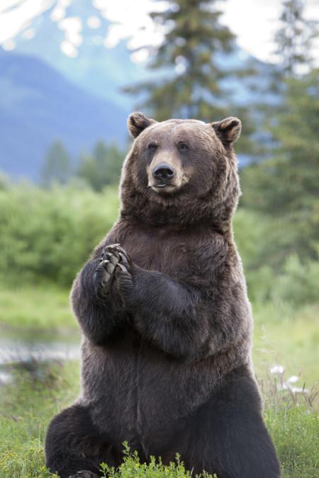 Alaska BrownBear_110709380