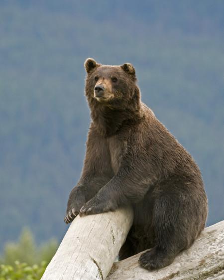 Alaska BrownBear_17882143