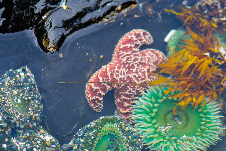 CA YVR-Island Seestern-Anemone_109680476