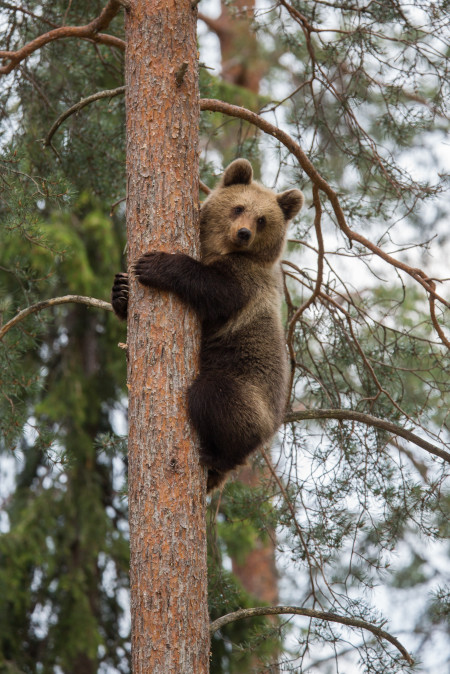 CA brown bear climbing_108162587