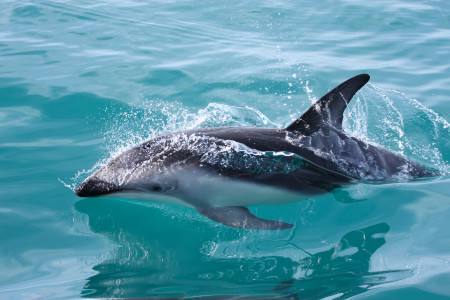 NZ Hector Dolphins_64009852