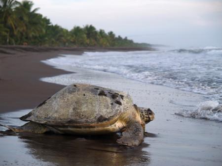 CR Meerschildkröte Tortuegro 18May_87540475