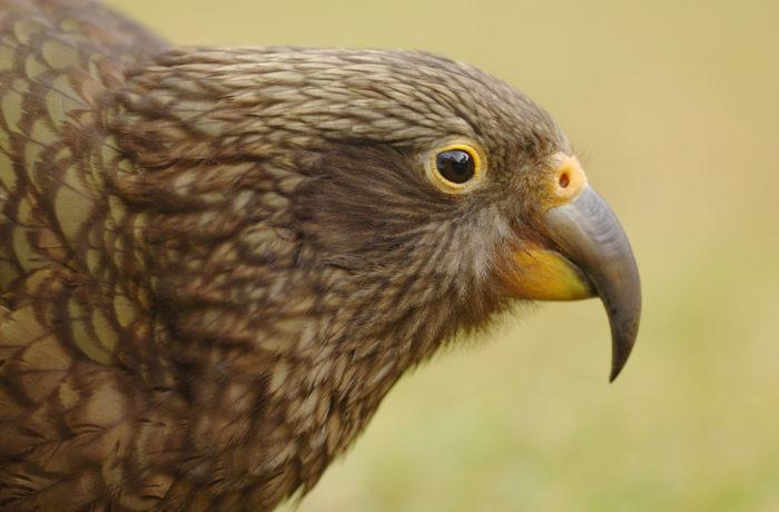 Kea – der frechste Papagei der Welt