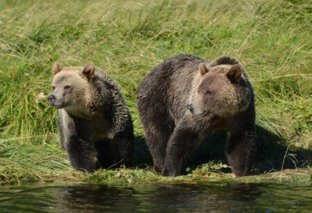 Bären Vancouver Island West Kanada