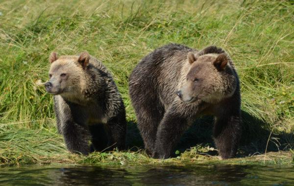 Bären beobachten in Alaska