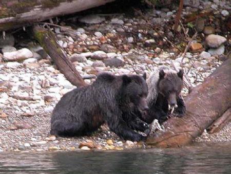 Bären beim Lachsrun