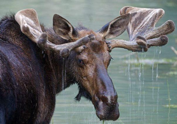 Kanada - Tiere - Elch