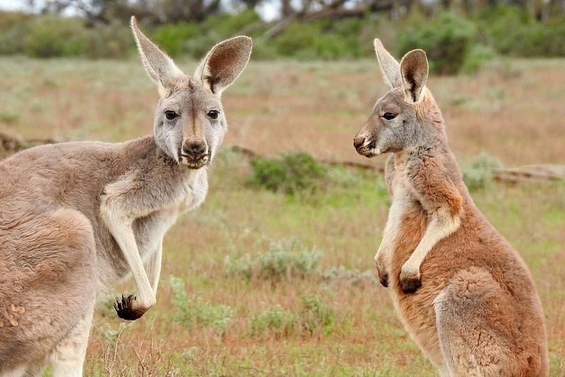 Kangaroos an der Strasse - Mutter und Sohn