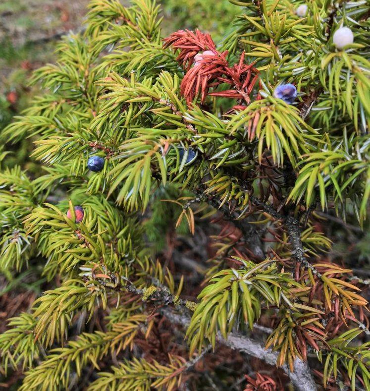 Heilmittel wie Beeren und Harz