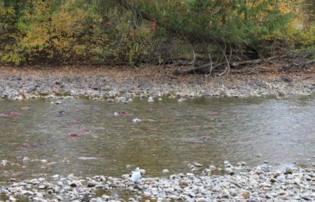 Lachse im Fluss