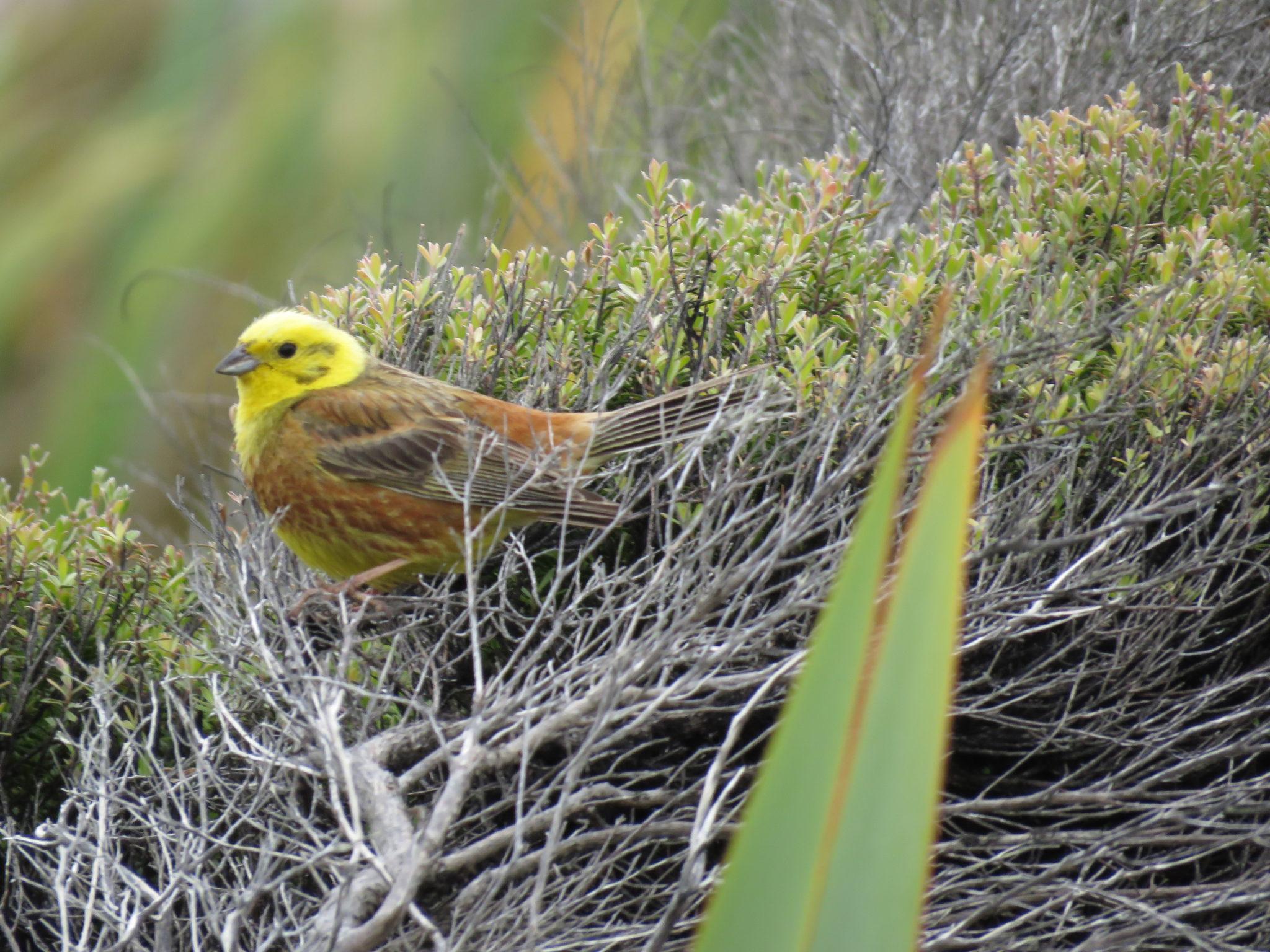 Vogel Nordinsel, Neuseeland