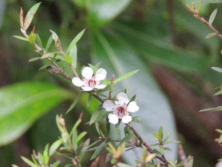 T-Tree, Neuseeland