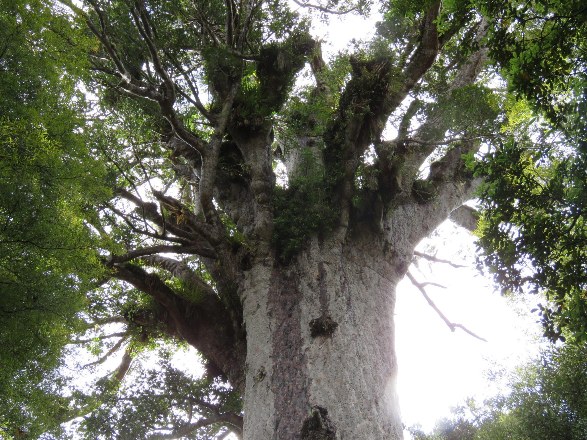 Kauri Baum, Neuseeland
