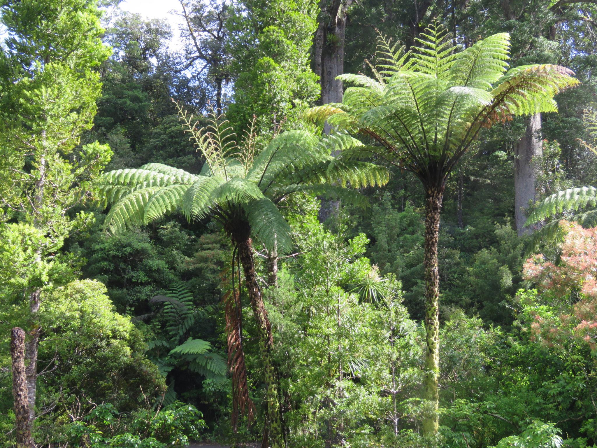 tropischer Wald, Nordinsel Neuseeland