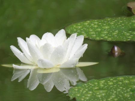 seerose bradleys garden