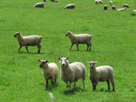 Schafe wohin das Auge reicht