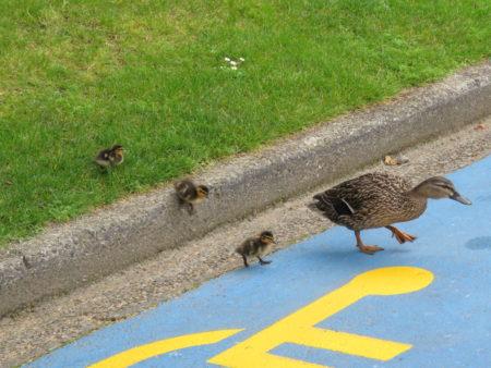 Ente mit Familie