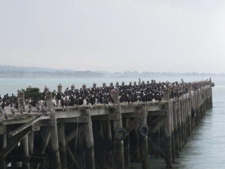 Vögel Pier Oamaru