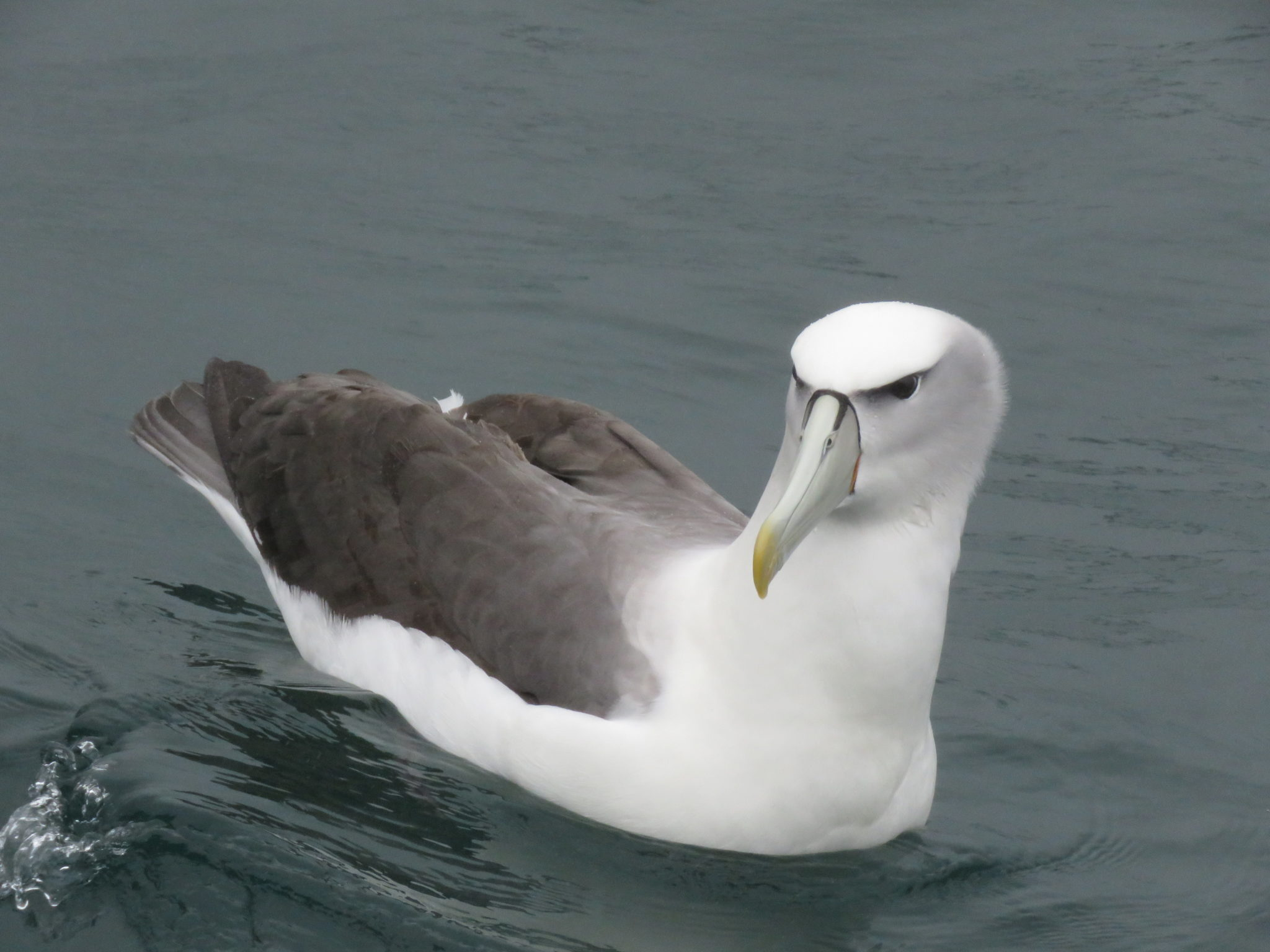 Albatross in Neuseeland