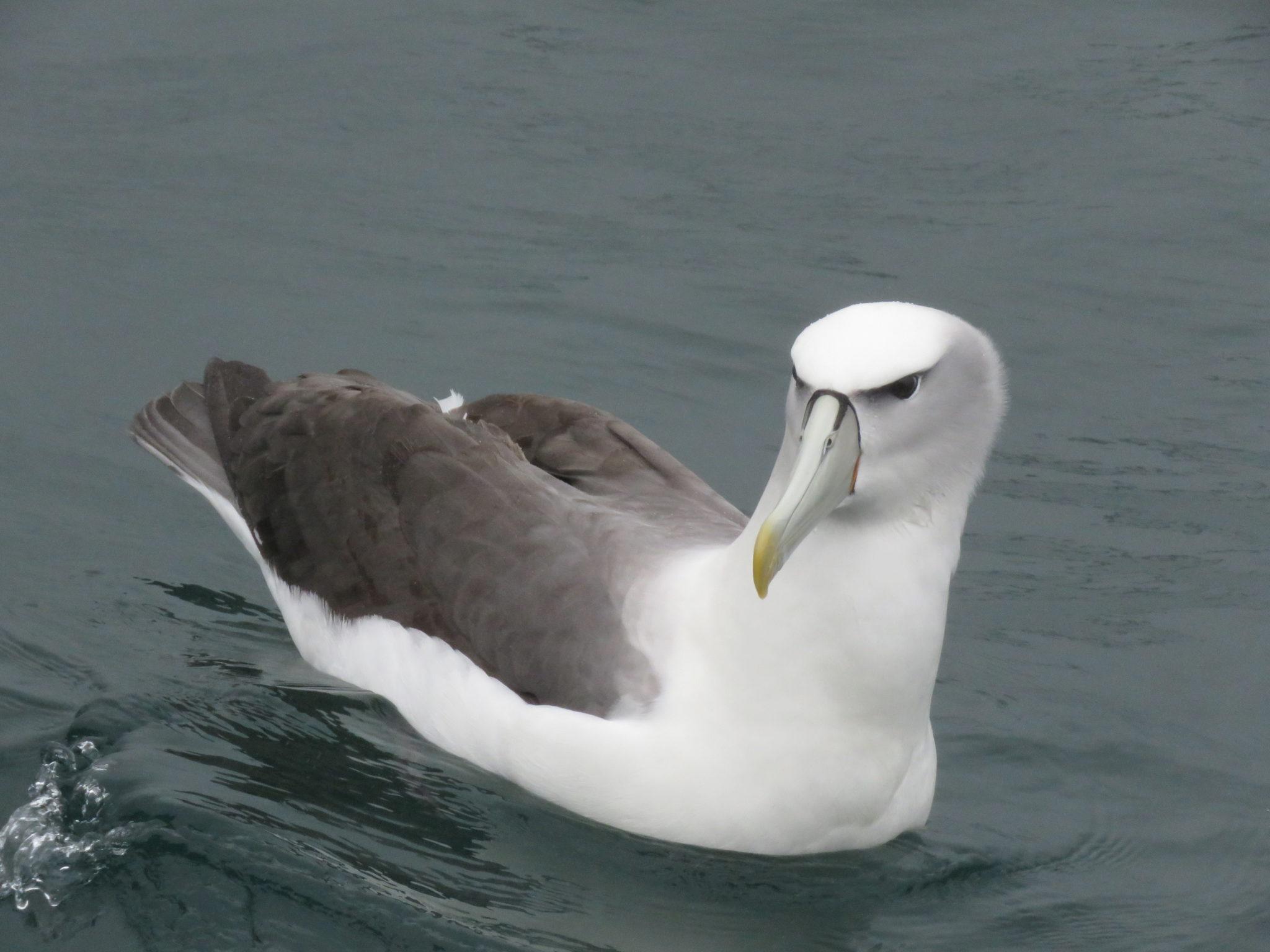 Albatross in Neuseeland