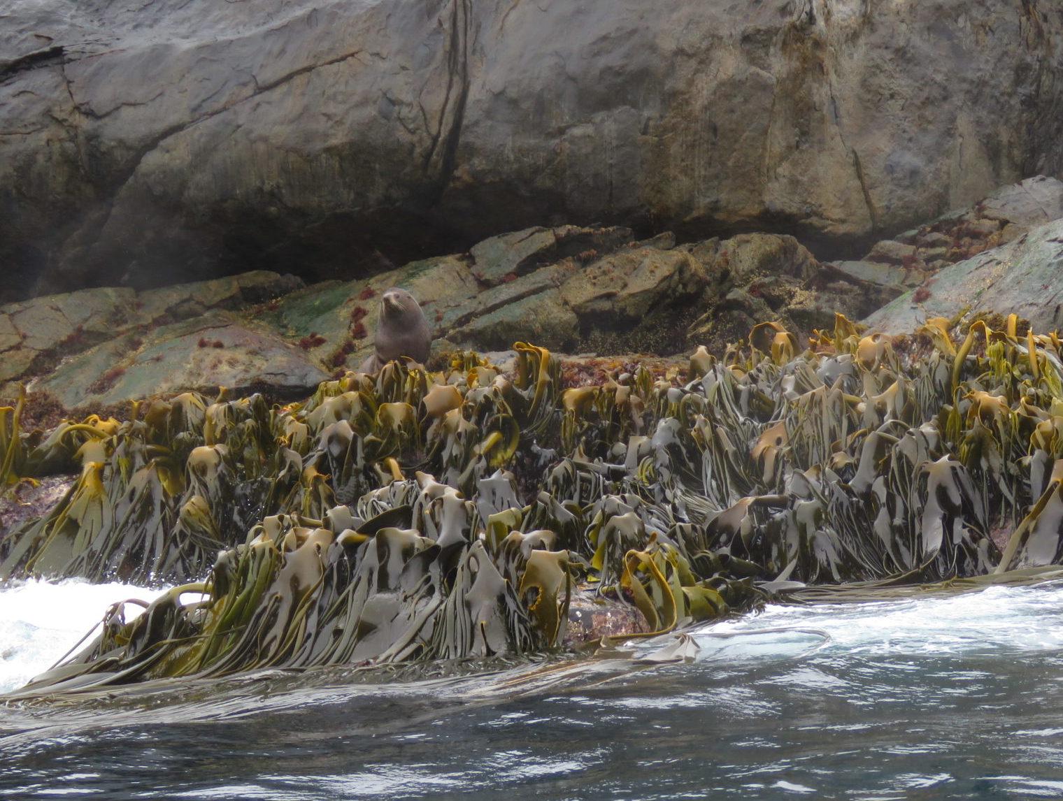 Seaweed in Neuseeland