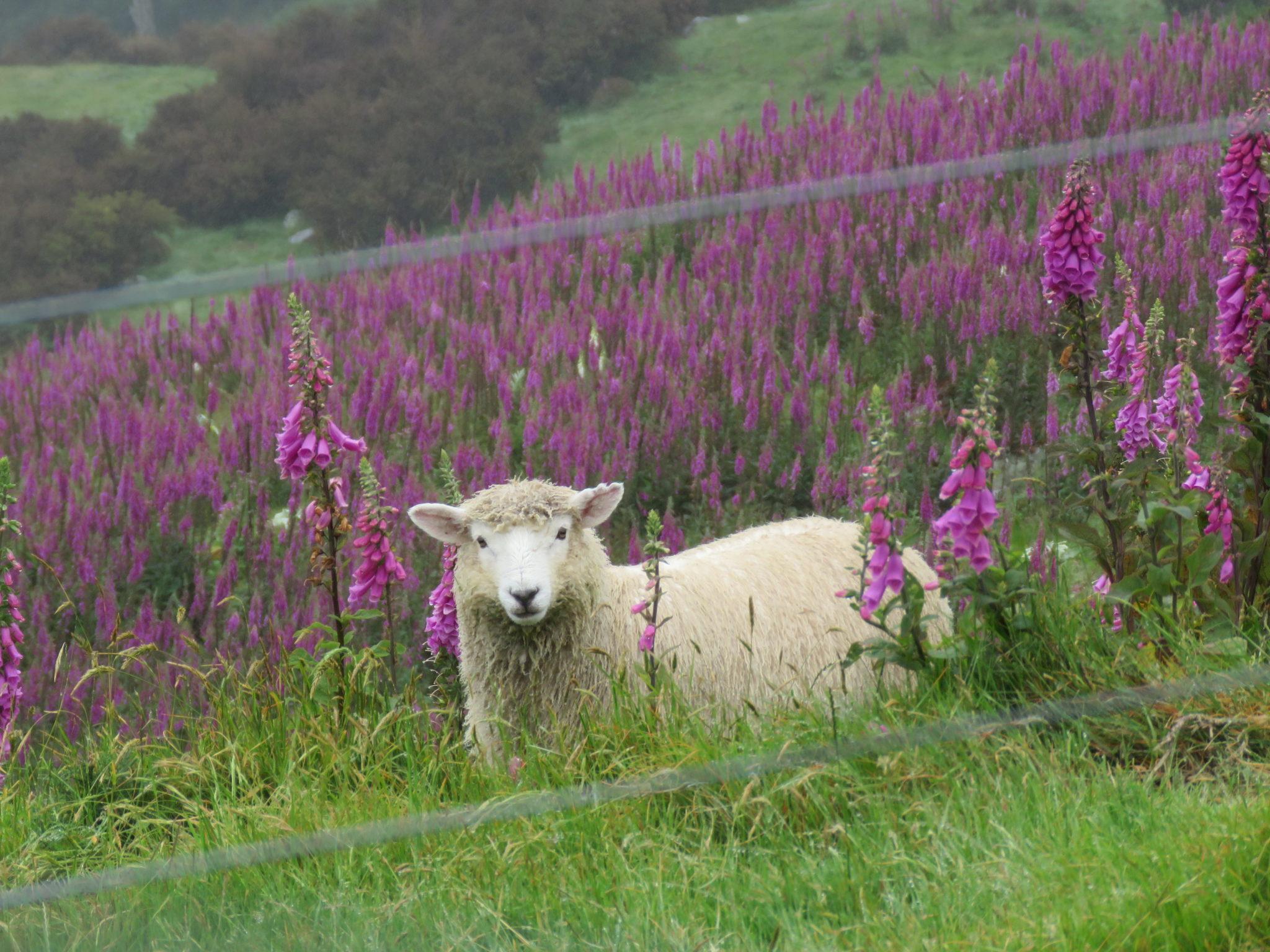 Schaf mit Lupinen