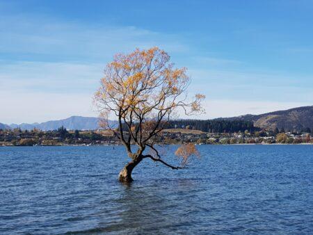 Tree of Wanaka Lake