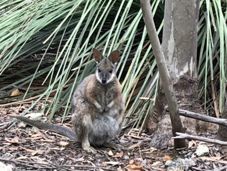 Kangaroo Island Wallaby (Mini Kangaroo)