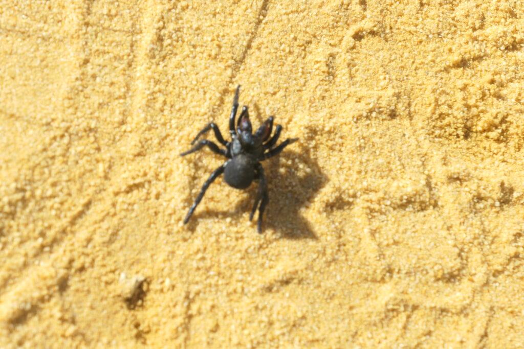 Spinne in der Wüste - Nambung NP