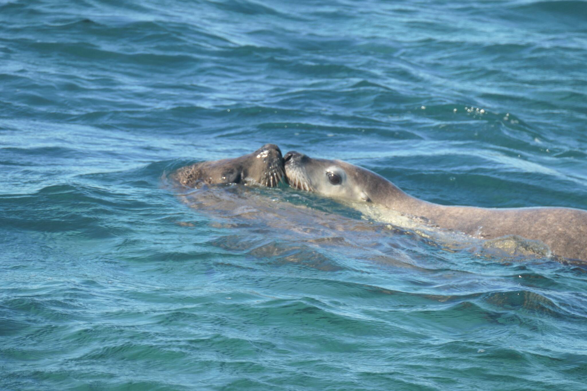 Schwimmen mit Seelöwen, Jurien Bay, West Australien