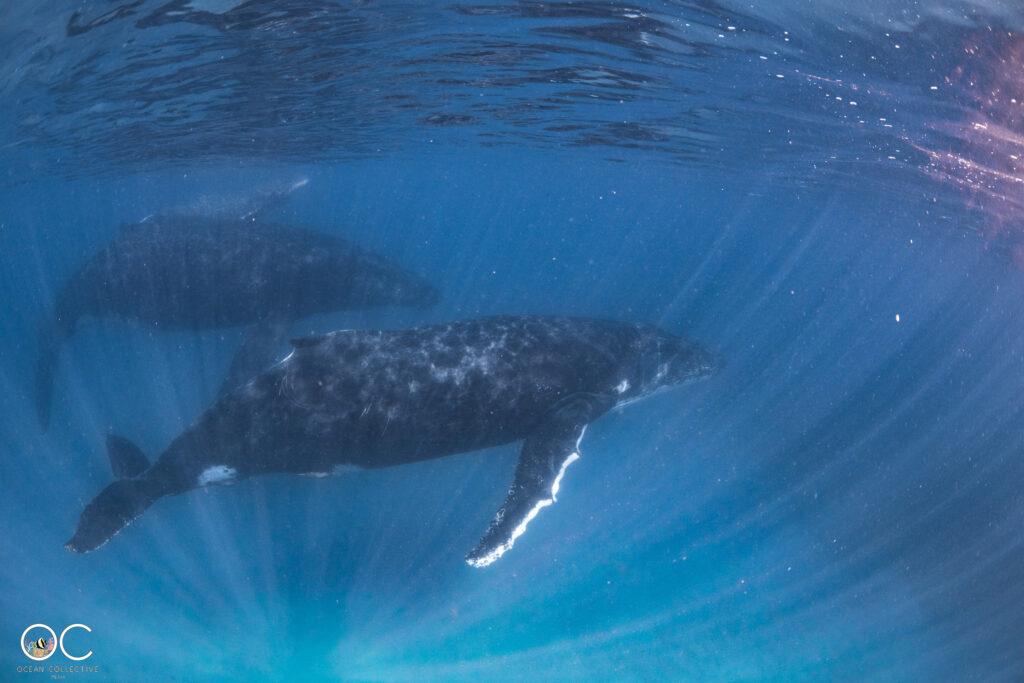 Schnorchelausflug Ningaloo Reef mit Humbackwhale