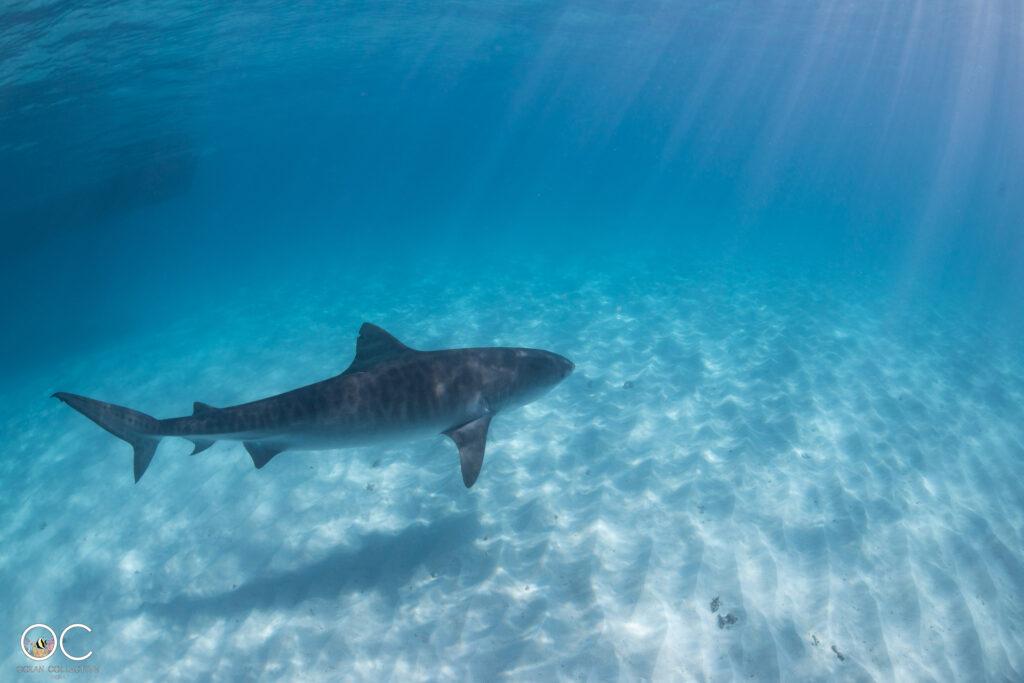 Schnorchelausflug Ningaloo Reef mit Reef Shark