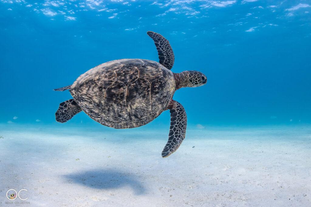 Schnorchelausflug Ningaloo Reef mit Schildkröte