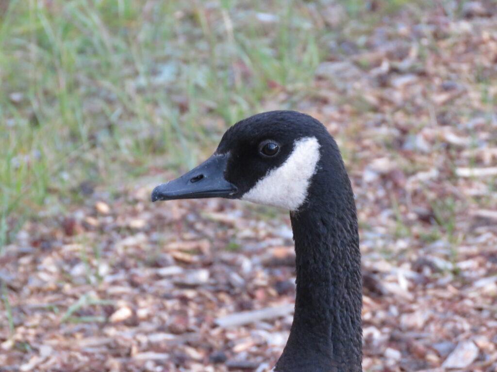 Canada Goose -eine schöne Gans - Jasper